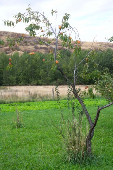This is the pathetic nectarine trees, which has been providing 2-4 pieces of fruit for weeks. Not bad, not bad at all. Photo credit Steve Henderson Fine Art.